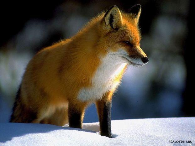 Охота на лису.